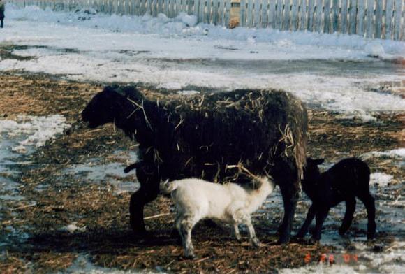 Ewe foster